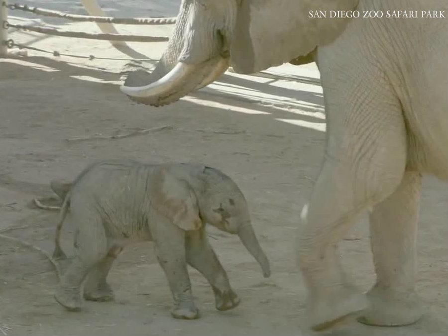 Female elephant calf born at San Diego Zoo Safari Park