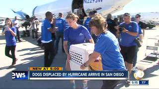 Dogs displaced by hurricane arrive in San Diego